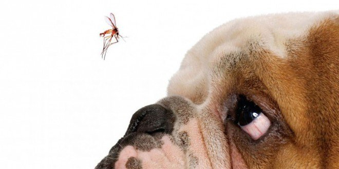 cachorro-pode-ter-dengue-660x330.jpg